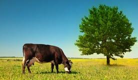 корова Стоковые Изображения