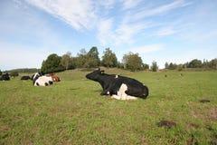 корова Стоковые Изображения RF