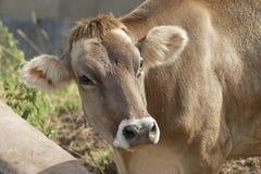корова стоковое фото