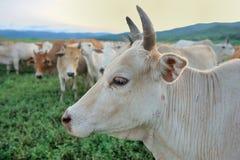Корова Стоковая Фотография