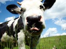 корова Стоковые Фотографии RF