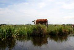 Корова Стоковая Фотография RF