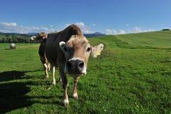 Корова Allgäu Германия Стоковое Изображение