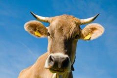 корова alps Стоковые Фото
