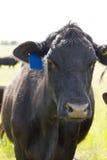 корова angus черная Стоковая Фотография