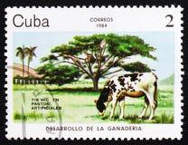 Корова artificiales Pastos, около 1984 Стоковое Изображение RF