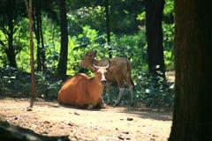 Корова Banteng/javanicus быка Стоковые Изображения