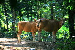 Корова Banteng/javanicus быка Стоковые Изображения RF