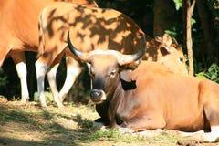 Корова Banteng/javanicus быка Стоковые Фотографии RF