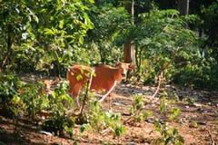 Корова Banteng/javanicus быка Стоковое фото RF