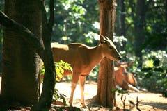 Корова Banteng/javanicus быка Стоковая Фотография