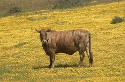корова california счастливая стоковое фото