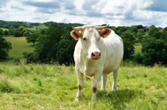 Корова Charolais в зеленом выгоне Стоковое фото RF