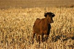 Корова Dexter Ирландского стоковое изображение