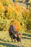 Корова gazing Стоковое Изображение