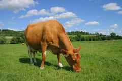 корова guernsey Стоковое Изображение RF