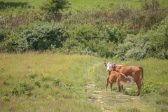 Корова Hereford и икра ухода Стоковая Фотография
