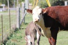Корова - Hereford - осел Стоковые Фотографии RF