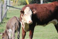 Корова - Hereford - осел Стоковая Фотография