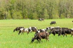 Корова kine жалуется bedroll заплату опрятно стоковые изображения