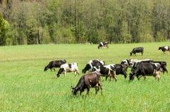 Корова kine жалуется bedroll заплату опрятно стоковая фотография