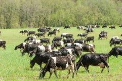 Корова kine жалуется bedroll заплату опрятно стоковое изображение rf