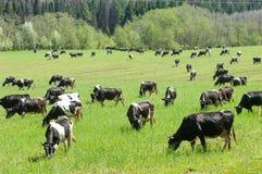 Корова kine жалуется bedroll заплату опрятно стоковые изображения rf