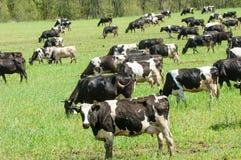 Корова kine жалуется bedroll заплату опрятно стоковое фото rf