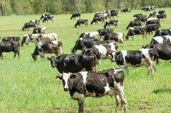 Корова kine жалуется bedroll заплату опрятно стоковые фотографии rf