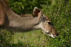 Корова Kudu Стоковые Фото