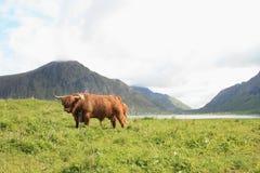 корова lofoten scottish Стоковая Фотография