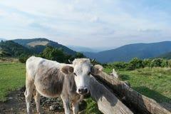 Корова Milck с пасти на выгоне зеленой травы гор Швейцарии высокогорном над голубым небом Стоковые Фотографии RF