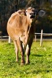корова mooing Стоковая Фотография