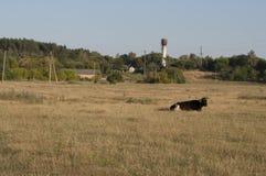 Корова pasturing в луге цвета золота осень раньше Стоковые Изображения RF