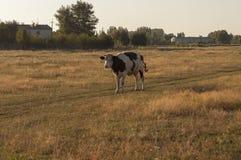 Корова pasturing в луге цвета золота осень раньше Стоковое фото RF