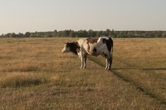 Корова pasturing в луге цвета золота осень раньше Стоковые Изображения