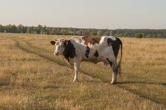 Корова pasturing в луге цвета золота осень раньше Стоковая Фотография