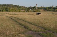 Корова pasturing в луге цвета золота осень раньше Стоковые Фотографии RF