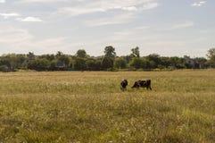 Корова pasturing в луге цвета золота осень раньше Стоковое Фото