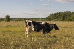 Корова pasturing в луге цвета золота осень раньше Стоковая Фотография RF