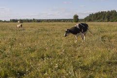 Корова pasturing в луге цвета золота осень раньше Стоковое Изображение
