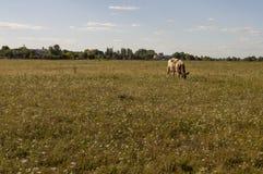 Корова pasturing в луге цвета золота осень раньше Стоковые Фото