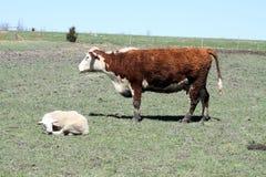 Корова & Ram Hereford Стоковые Изображения RF