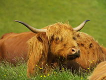 Корова Scottish гористой местности Стоковое Изображение RF