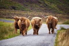 Корова Scottish Стоковое Изображение RF