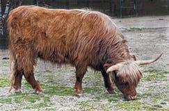 Корова Scottish Стоковые Изображения RF