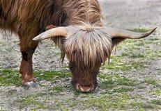 Корова Scottish Стоковое Фото