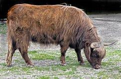 Корова Scottish Стоковые Фото