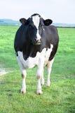 корова stairing Стоковое фото RF