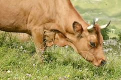 Корова Tarine портрета пася Стоковая Фотография